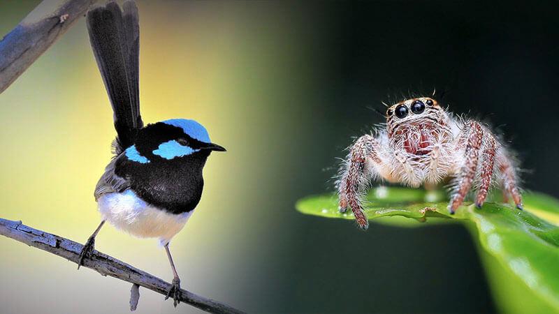 aussie english, the wren and the spider, aussie english, pete smissen, the aussie english podcast