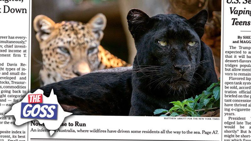 image shows two big jaguars, one black and one spotted
